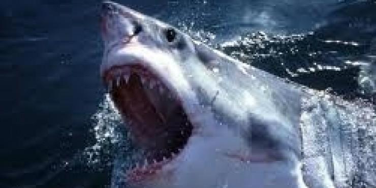 В Шарм-Эль-Шейхе свирепствует акула