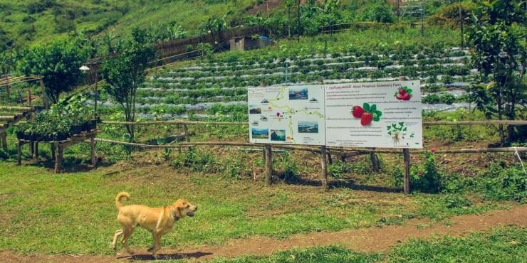 Клубничная ферма в горах Лаоса