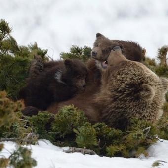 Поддержи кинопроект «Медведи Камчатки. Начало жизни»!