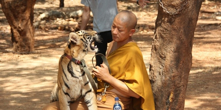 Ручные тигры и монахи